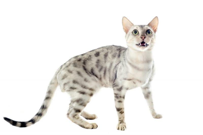 érdekességek a bengáli macskáról